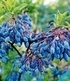 "Heidelbeere ""Blautropf®"",1 Pflanze (1)"