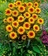"""Heliopsis """"Funky Spinner"""",1 Pflanze (1)"""