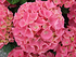 Hortensie pink (1)