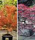 Japanische Ahorn-Kollektion,2 Pflanzen (1)