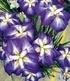 "Japanische Iris ""Persephone"",1 Knolle (1)"