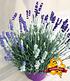 "Lavendel-Trio ""Bee Zee"",1 Pflanze (1)"