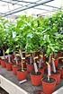 Limettenbaum (Persische Limette) Spanische - Citrus latifolia (1)