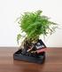 """Lova Farn """"Davallia"""",1 Pflanze (1)"""