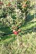 Lubera Apfel Lowfruit®Maloni Gullivers® (1)