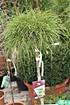 Lubera Faden-Lebensbaum 'Whipcord' (1)
