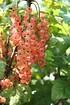 Lubera Johannisbeere Rosa Sport® (1)