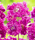 """Lychnis """"Frou Frou Double Pink"""",1 Pflanze (1)"""