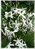 Madeira-Jasmin Jasminum azoricum (1)