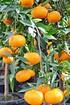 Mandarinenbaum - Citrus reticulata (1)
