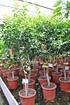 Mandarinenbaum (Mittelmeer Mandarine) - Citrus deliciosa (1)