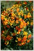 Marmeladenbusch Kanarenblümchen - Streptosolen jamesonii (1)