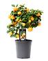 Mein schöner Garten Calamondin-Orangenbaum (1)