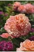 Mein schöner Garten Edelrose 'Augusta Luise®' (1)