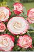 Mein schöner Garten Edelrose 'Nostalgie' (1)