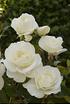 Mein schöner Garten Floribundarose 'Schneewittchen' (1)
