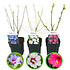 Mein schöner Garten Hibiscus 3er-Set 'Summer Nights' (1)