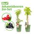 Mein schöner Garten Johannisbeeren 2er-Set (1)