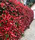 """Mein schöner Garten Photinia Hecken-Set """"Trend"""", 10 Pflanzen (1)"""