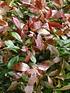 """Mein schöner Garten Photinia Hecken-Set """"Trend Photinia"""", 10 Pflanzen (1)"""