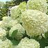 Mein schöner Garten XXL Rispenhortensie 'Limelight' (1)