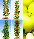 Obst für Balkon & Terrasse,5 Pflanzen (1)