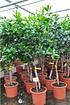 Orangenbaum (Fukumoto) - Citrus sinensis Fukumoto (1)