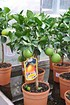 Orangenbaum (Italienische Orange) - Citrus sinensis (1)