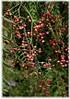 Peruanischer Pfefferbaum Schinus molle (1)