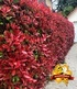 "Photinia-Hecke ""Red Robin"",1 Pflanze (1)"