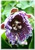 Riesen-Granadilla Passiflora quadrangularis (1)