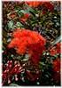 Roter Eucalyptus Eucalyptus ficifolia (1)