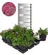 Roter Teppich-Phlox 25 Stk.,25 Pflanzen (1)