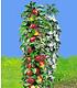 "Säulen-Apfel ""Red River®"",1 Pflanze (1)"