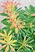 Schattenglöckchen (Forest Flame) - Pieris japonica Forest Flame (1)