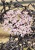 Schwarzer Holunder (Black - Lace®) Sambucus nigra Black Lace (1)