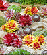 "Sempervivum-Mix ""Chick Charms®"" mit 2 Gold Nugget,9 Pflanzen (1)"