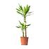 Sense of Home Zimmerpflanze Drachenbaum 'Steudneri' ohne Übertopf (1)