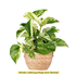 Sense of Home Zimmerpflanze GoldenenEfeutute (1)