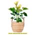 Sense of Home Zimmerpflanze GroßeFlamingoblume orange (1)