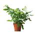 Sense of Home Zimmerpflanze Tüpfelfarn 'Blue Star' ohne Übertopf (1)
