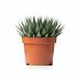 Sense of Home ZimmerpflanzeAloe aristata ohne Übertopf (1)