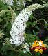 """Sommerflieder """"Peace®"""",1 Pflanze (1)"""