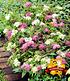 """Spiere """"Harlekin Shirobana"""",1 Pflanze (1)"""