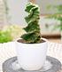 """Spiral-Kaktus """"Cereus"""",1 Pflanze (1)"""