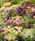 """Stauden-Mix """"Fantasy Garden"""",3 Pflanzen (1)"""