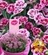 """Stauden-Nelke """"Pink Kisses®"""",3 Pflanzen (1)"""