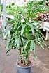 Steckenpalme - Rhapis excelsa (1)