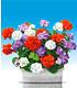Stehende Balkon-Geranien Kollektion, 6 Pflanzen blau und orange (1)