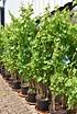 Weinrebe (Trifrutto) 3 Sorten: Grün, Blau, Rot in einem Topf (1)